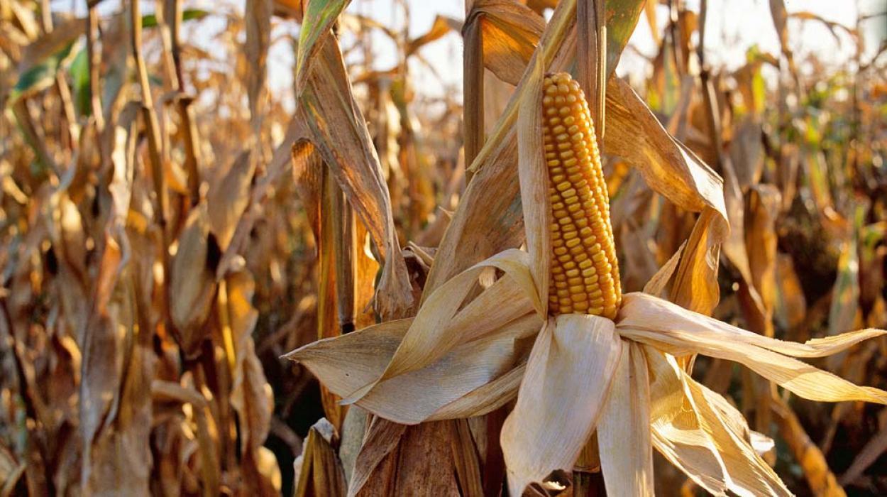 Семена кукурузы оптом от производителя