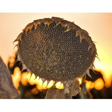 Семена Подсолнечника ГОРСТАР