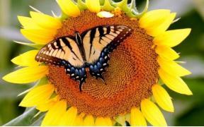 Семена Подсолнечника гибрид Махаон