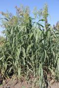 Семена сорго cуданковые гибриды Солярис