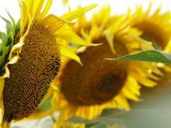Семена Подсолнечника гибрид Светлана