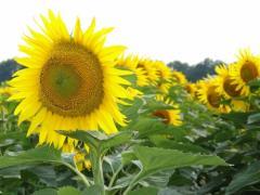 Семена Подсолнечника гибрид Светоч