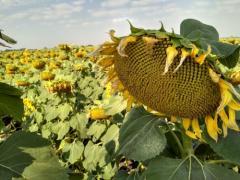 Семена Подсолнечника гибрид Светозар